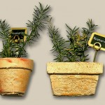 Miniature Rosemary Plants by Silvia Bolchi