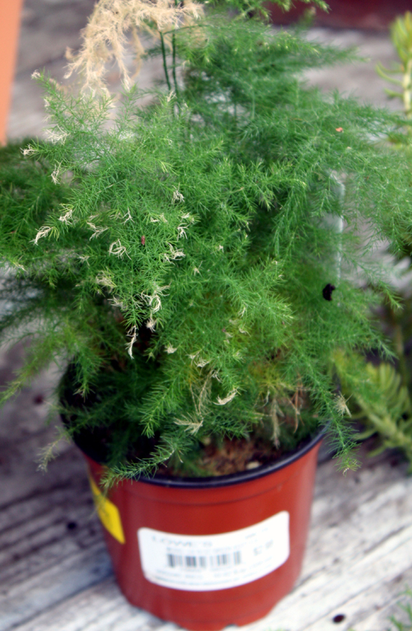 Asparagus-Fern Home Depot Mini Plants on mini home design, mini home office, mini home garage, mini home bus, mini hp, mini walmart, mini home construction, mini home development, mini home silo, mini mcdonald's, mini home hotel,