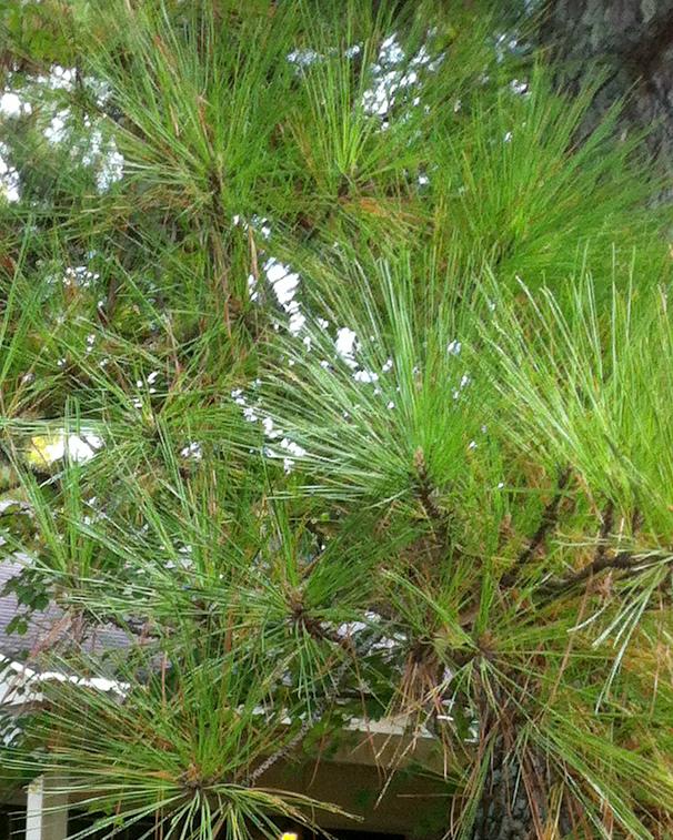 Pine needles fall 2013